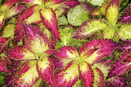 Multi-color Coleus leaves Stock Photo - 8188225