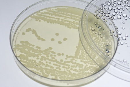 Bacterial T-streak on agar plate Stock Photo