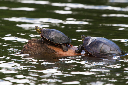 Two turtles sunning on a log
