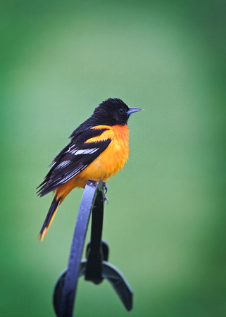 Baltimore Oriole (Icterus galbula) against empty green background