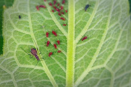 컵 식물 잎의 아래쪽에 작은 빨간색 진디