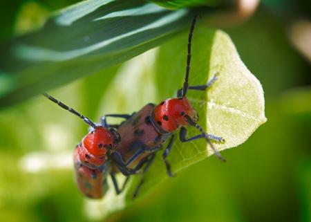 빨간 유수 딱정벌레 (Tetraopes tetrophthalmus) 스톡 콘텐츠
