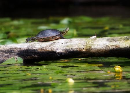 로그, Poskin 호수, 위스콘신에 기지개하는 거북이 스톡 콘텐츠