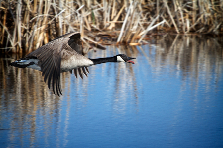 Canada Goose flying low over a marsh