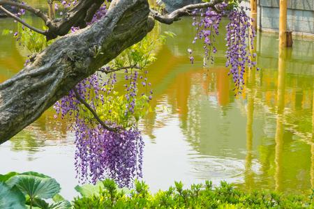 Beautiful flowers of wisteria(fuji)