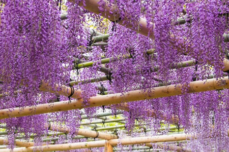 Beautiful flowers of wisteria(fuji)