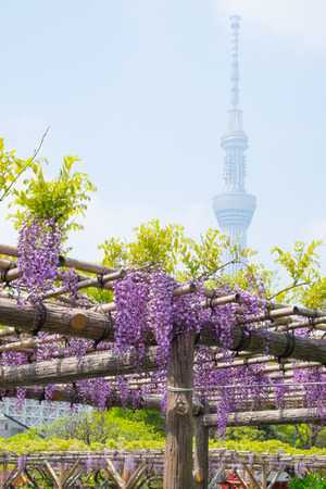 latticework: Beautiful flowers of wisteria(fuji)