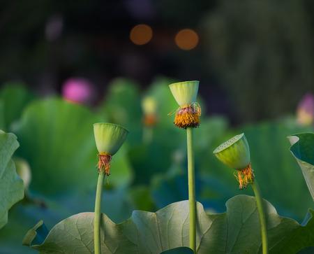 Lotus seeds of lotus flower