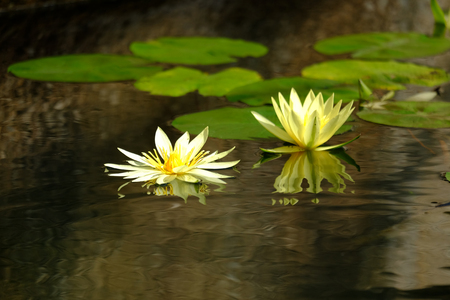 yellow lotus in the pond