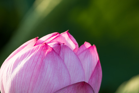 Water lily in Ueno Park