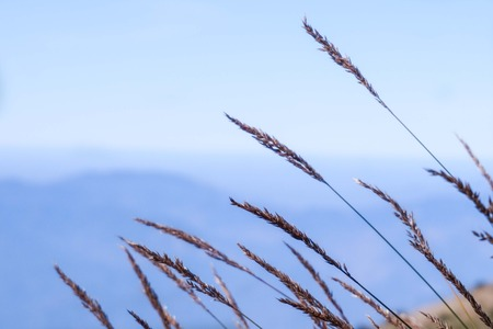 Long grasses fescue in meadow Stock Photo
