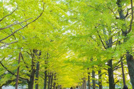 showa: Tokyo autumn,Ginkgo bunches  at Showa Kinen Park