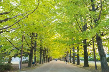 showa: Tokyo autumn,Ginkgo bunches  at Showa Kinen Park ; 6th November 2016
