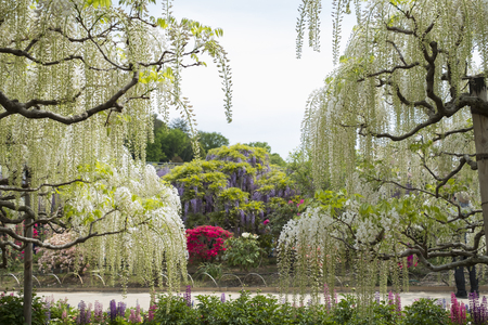 Wisteria flower at Ashikaga flower park in japan