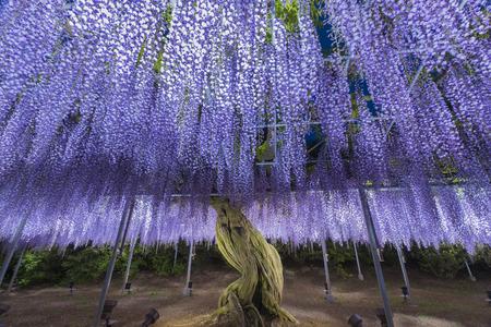 Wisteriabloem bij Ashikaga-bloempark in Japan bij nacht
