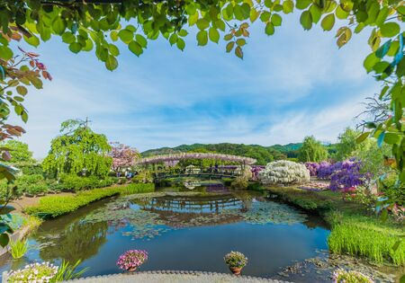 Wisteria flowers in The Ashikaga Flower Park,Japan;3 May 2019 新聞圖片