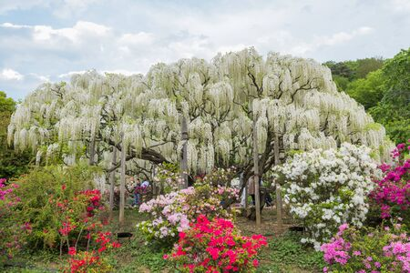 Wisteria flowers in The Ashikaga Flower Park,Japan;3May 2019