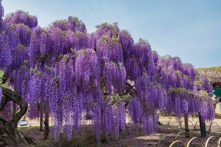 Wisteria flowers in The Ashikaga Flower Park,Japan