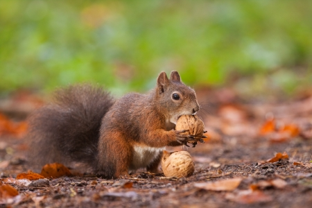 Brown squirrel with nuts