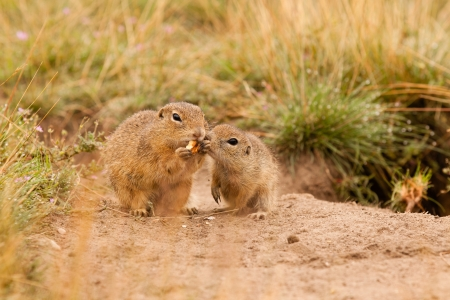 Ground squirrels photo