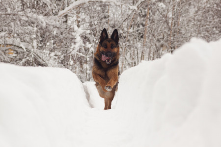 German Shepherd Ambra photo