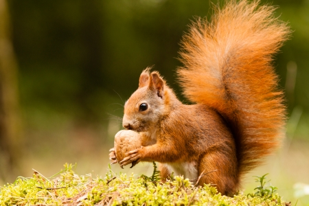 hazelnuts: Squirrel with nut Stock Photo