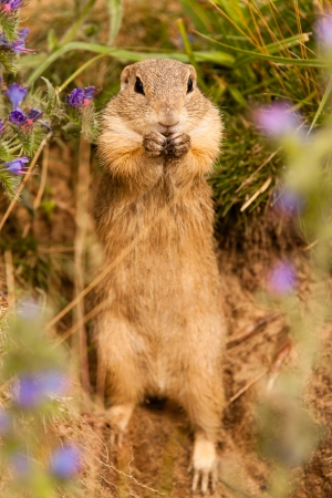 Standing Ground squirrel photo