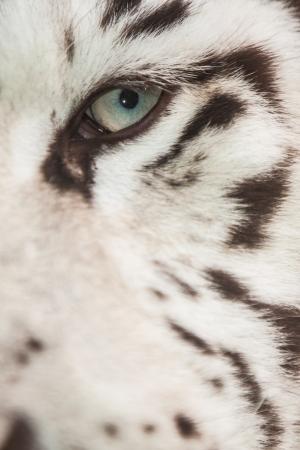 White Tiger eye photo