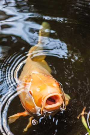 Koi carp in botanique in Liberec in Czech Republic photo