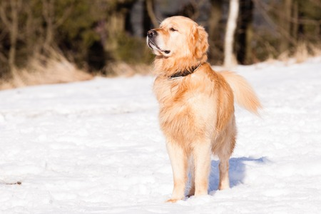 Watching Golden Retriever in winter on snow photo