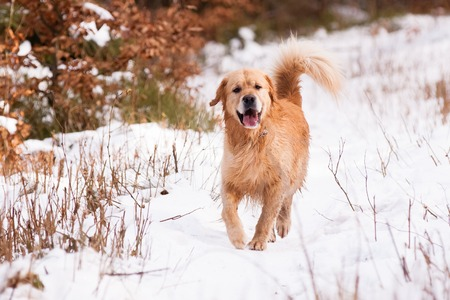 Running Golden Retriever in winter on snow photo