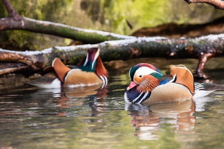 Mandarin ducks on water in ZOO Liberec photo