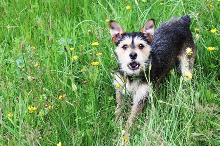 Barking Mutt terrier with green grass photo