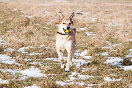 mutt: Mutt of Labrador and German Shepherd with his toy Stock Photo
