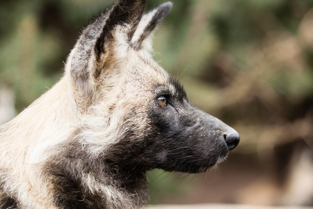 Portrait of African Wild Dog on blurry green background photo