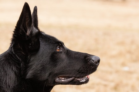 german shepherd on the grass: Portrait of Black German shepherd on dry grass Stock Photo