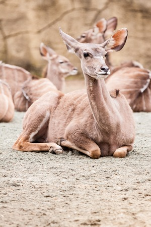 Lying Lesser kudu in ZOO in Czech Republic photo