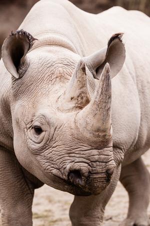 체코 동물원에있는 코뿔소의 초상화