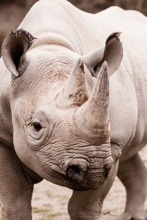 Portrait of rhinoceros in ZOO in Czech Republic