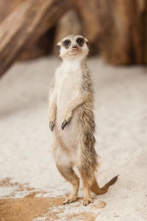suricatta: Standing Meerkat in ZOO in Czech Republic