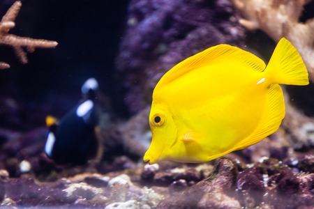 Swimming Yellow fish in aquarium in ZOO photo