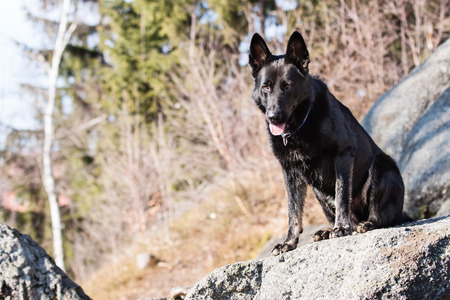 Sitting Black German shepherd on rock photo
