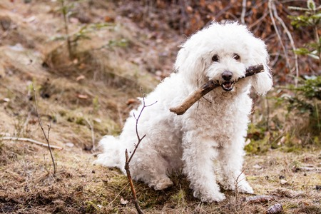 shepperd: Sitting White Puli with stick