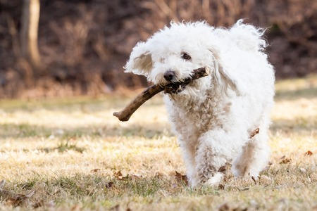 shepperd: Tunning White Puli with stick