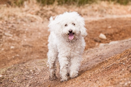 shepperd: Dry White Puli in forest on path