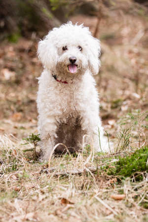 shepperd: Dry White Puli in forest on green moss