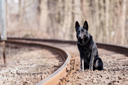 Black German shepherd on train rails photo