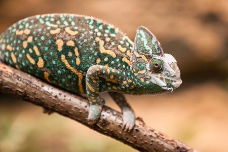 chameleon lizard: A veiled chameleon lizard