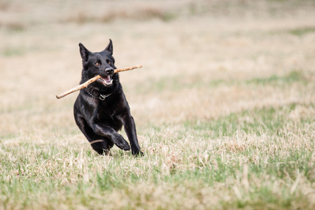 Black German Shepherd photo