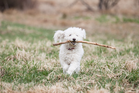 shepperd: White Puli